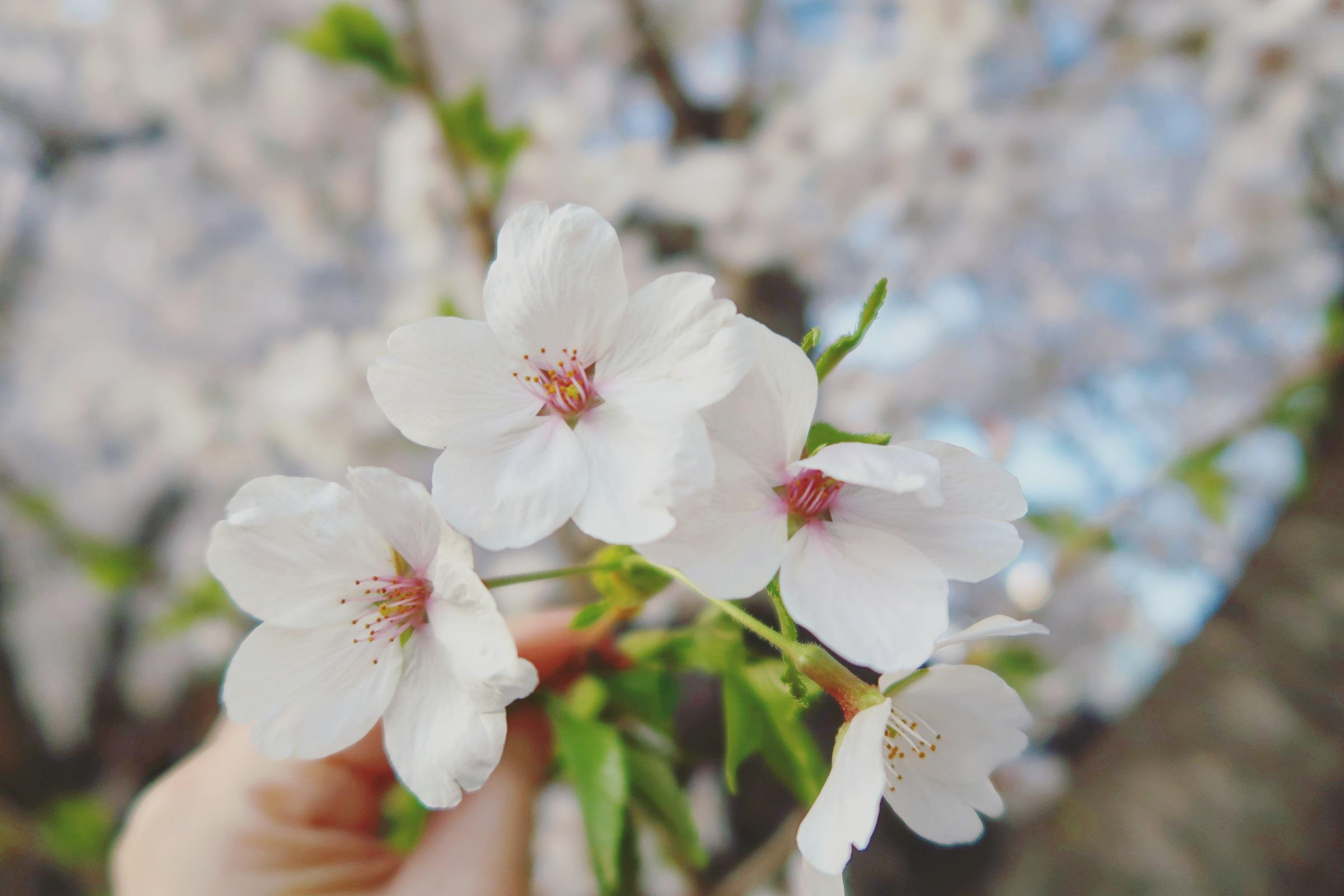 Cherry Blossom Season in Korea – More than just flowers