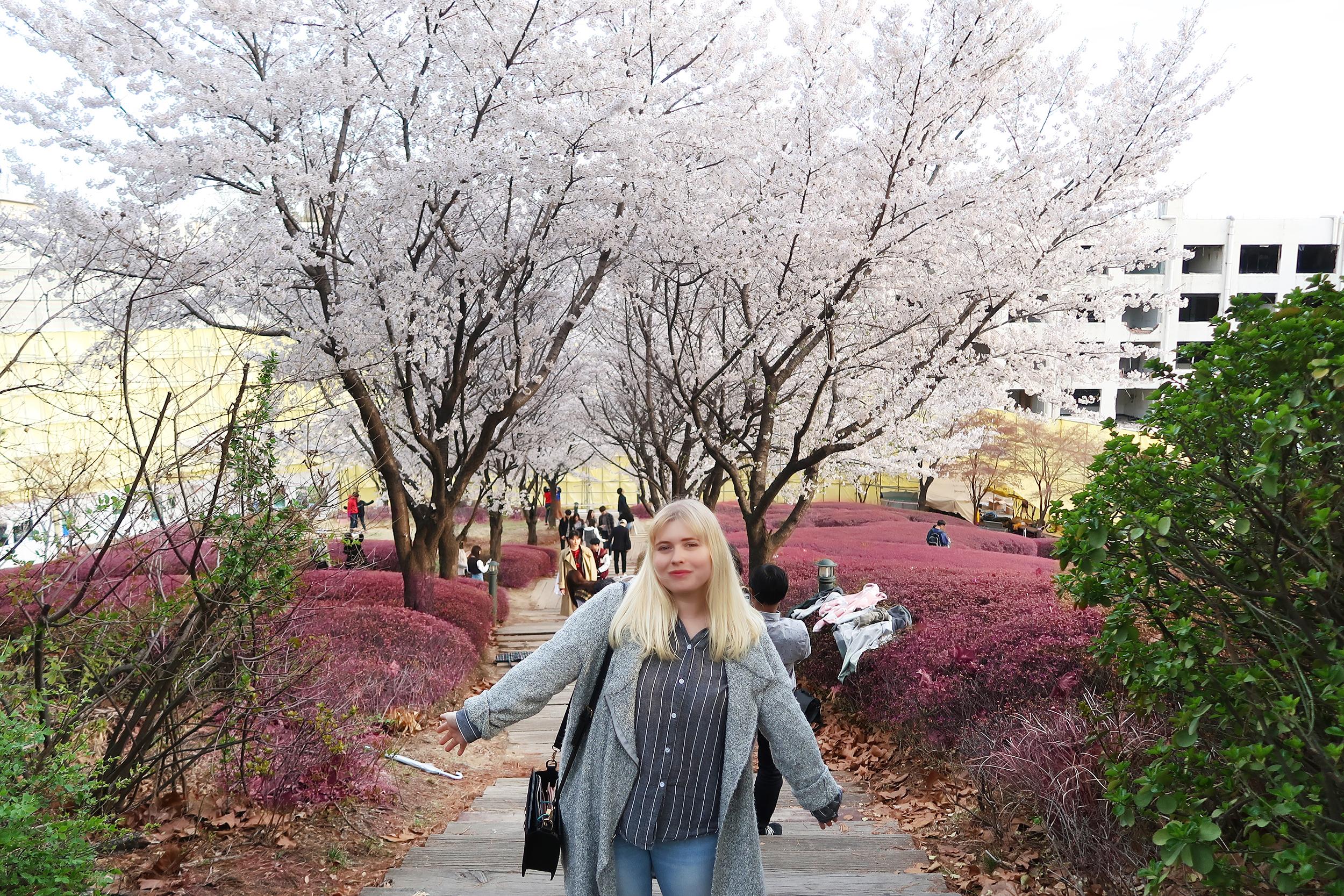 korea-uni-cherry-blossom
