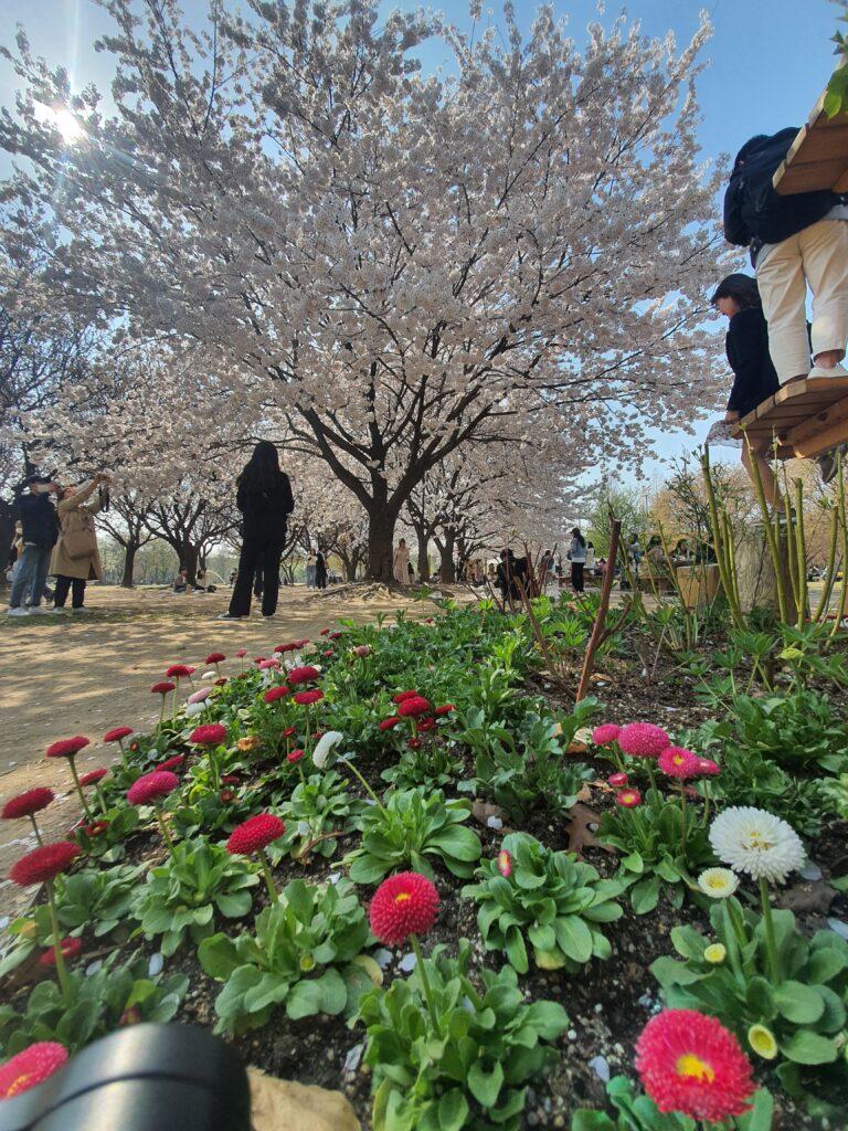 cherry blossom in seoul